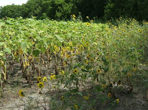 A sunflower research site